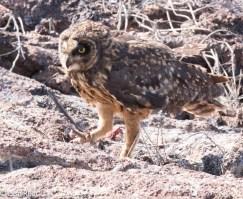 short-eared-owl-7-11-16-7188