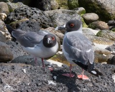 swallow-tailed-gulls-7-11-16-7489