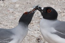 swallow-tailed-gulls-7-11-16-7718