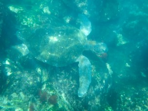 galapagos-green-turtle-7-12-2016-0225