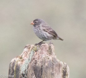 small-ground-finch-07-13-2016-8797