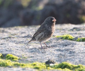 small-ground-finch-07-13-2016-9243