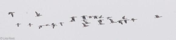 canada-geese-fermilab-12-17-16-5593