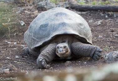 galapagos-giant-tortoise-07-14-2016-5506