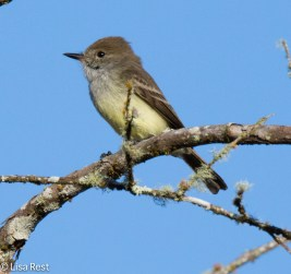 galapagos-flycatcher-07-15-16-6280