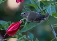 gray-warbler-finch-07-15-16-6270