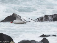red-billed-tropicbird-07-16-2016-7306