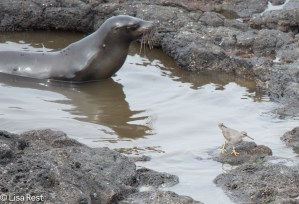 sea-lion-and-wandering-tattler-07-16-2016-7673