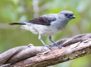 Plain-Colored Tanager 3-13-17-1547
