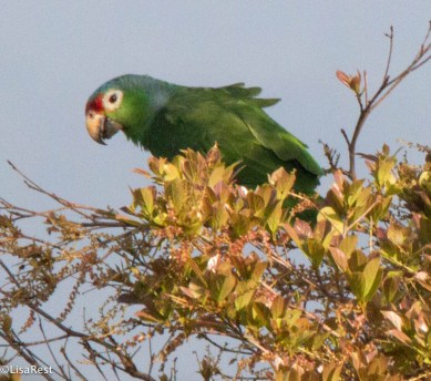 Red-Lored Parrot 3-13-17-1102