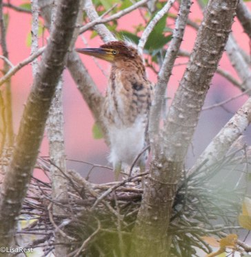 Rufescent Tiger-Heron 3-13-17-1833