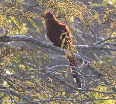 Squirrel Cuckoo 3-13-17-1047