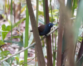 Chestnut-Backed Antbird 3-14-17-2220