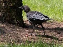 Fledge Crow 07-11-17-0995