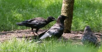 Fledge Crow 07-11-17-1048