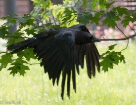 Flying Crow 07-11-17-1102