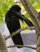 Preening Crow 07-11-17-1065