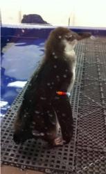 baby penguins atlanta aquarium staycation tennessee
