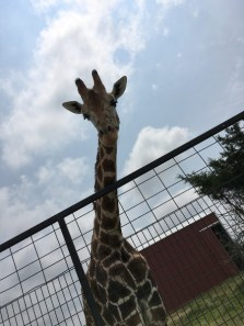 tennessee-safari-park-feed-giraffe