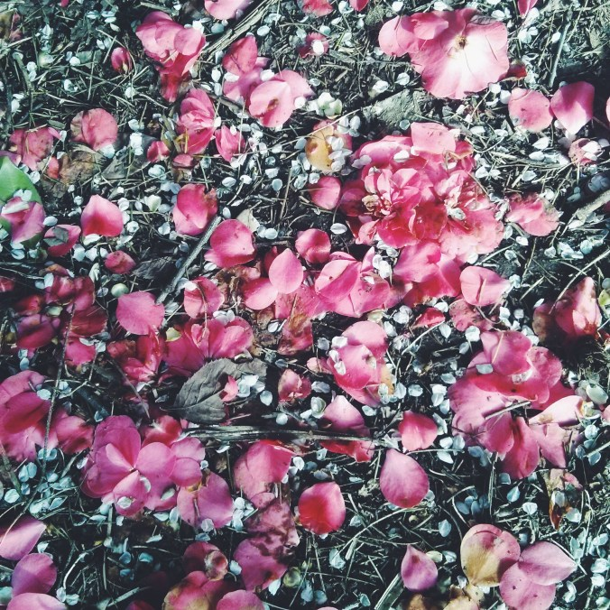picture of pink flower petals on the ground in Vancouver