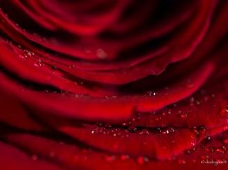 water on petals