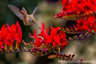 Rufous Hummingbird Feeding No. 4