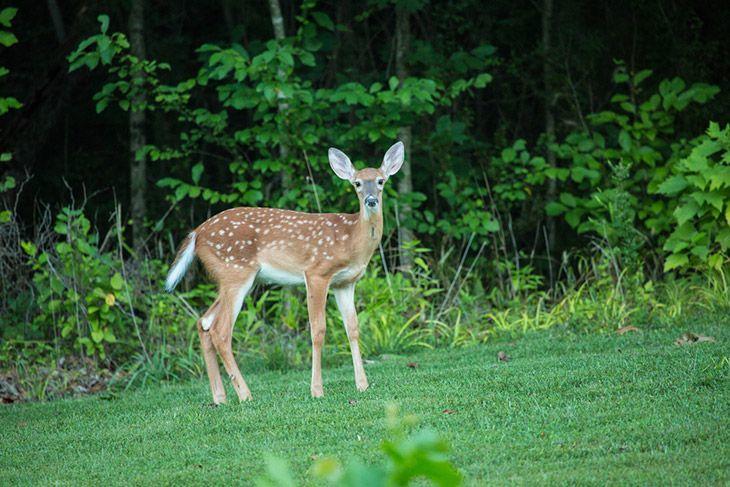 baby deer doe