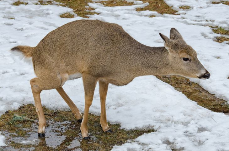 Deer Urine