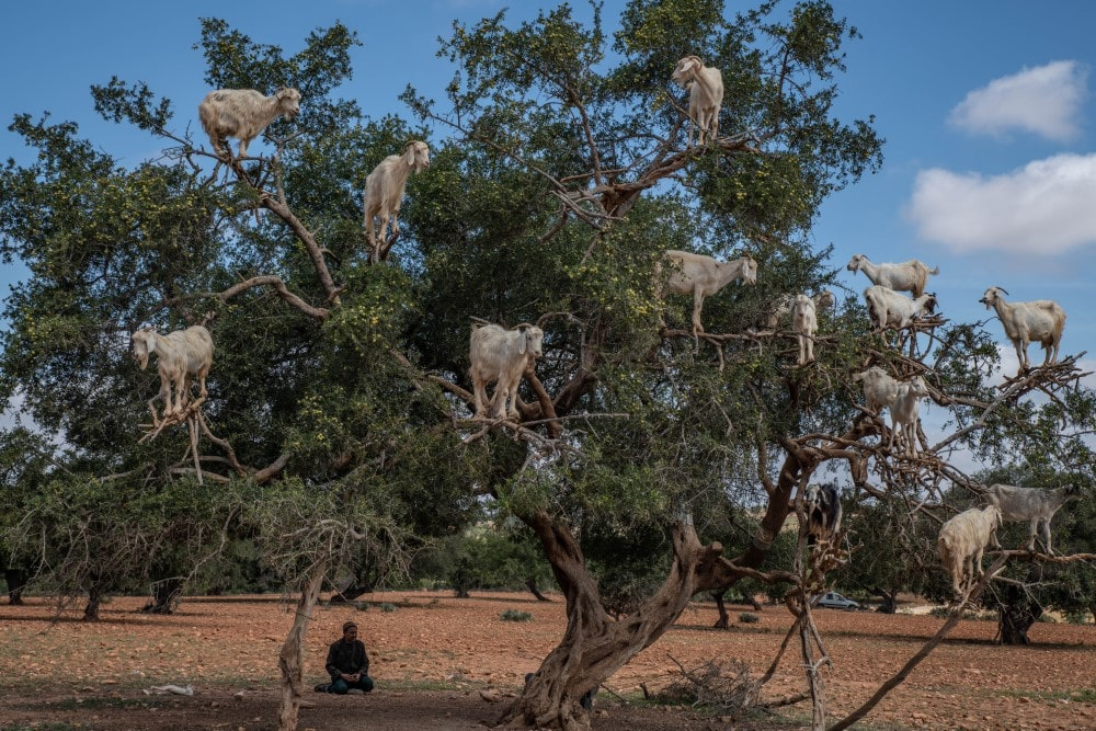 Kisah Shahabat Tsa'labah peternak kambing zaman nabi