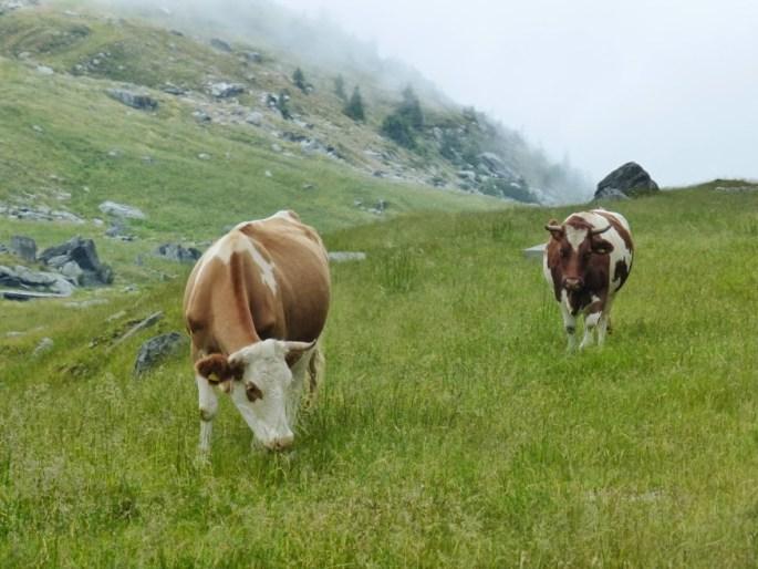 rumuńskie krowy pozdrawiają.JPG