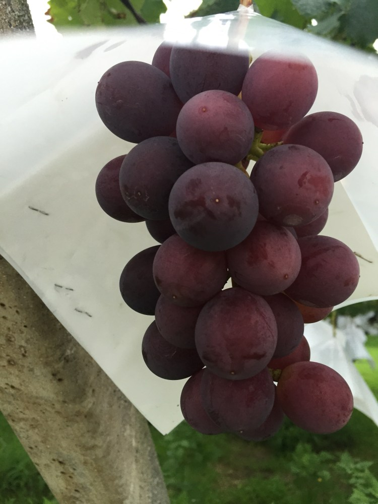 The biggest grapes I've ever seen grown off a vine!