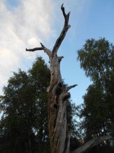 Сосна Леннрота. Фото: Андрей Туоми