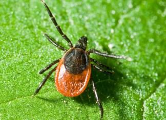 Клещ - самый опасный паукообразный в Карелии. Фото: okbnv.ru