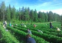 Жители Карелии на клубничных плантациях в Финляндии. Фото: Зульфия Шевченко