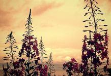 """""""Когда цветет иван-чай"""". Фото: Валерий Поташов"""