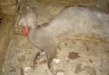 На Пряжинской звероферме норки и лисы от голода грызут друг друга. Фото из социальных сетей