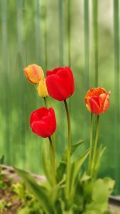 4 tulpi
