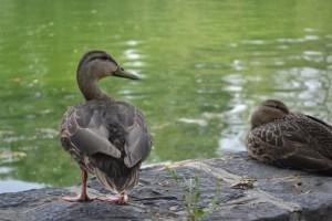Ducks at Chapultepec Park Lake