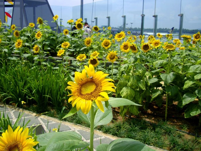 changi airport sunflower garden best