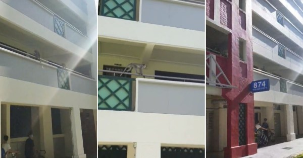 Monkeys Lepak At Woodlands HDB, Resident Asks If They Have SafeEntry