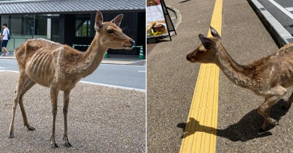 Nara Deers Look Emaciated, Expert Says They're Expecting Visitors' Treats