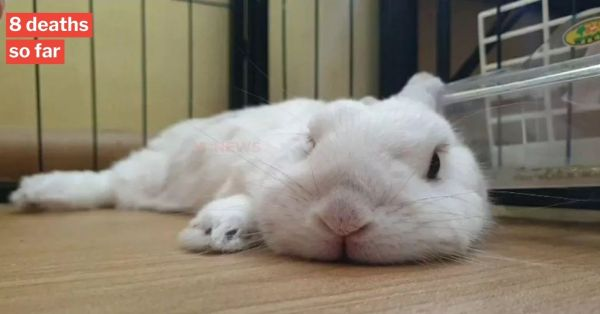 AVS Confirms Contagious Rabbit Disease In S'pore, Owners Should Keep Bunnies Indoors