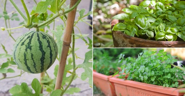 NParks Gives Away 60,000 Seeds, For Gardening Gurus To Grow Coriander & Watermelon