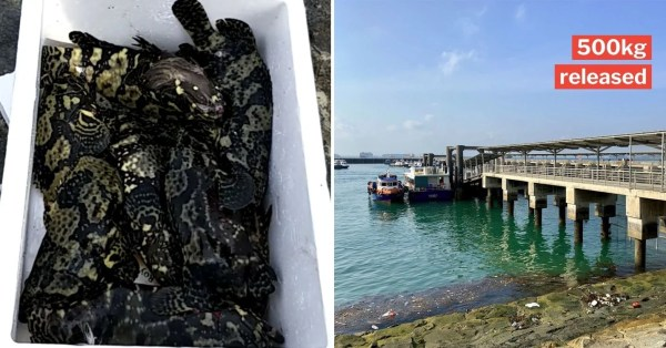 Hybrid Groupers Allegedly Released Into S'pore Waters, Marine Group Says They Disrupt Ecosystem