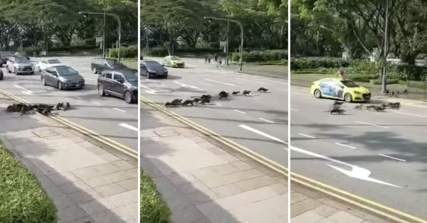 Otter Family Crosses Busy Road In Orchard, Taxi Jam Brakes Just In Time To Let Them Pass