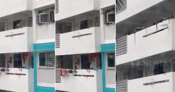 Monkeys Wander Along Marine Parade HDB Corridor, Raise Breaking & Entering Concerns