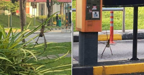 Giant Spider Hangs Out In Yishun, Resident Snaps Photos & Posts Them On The Web