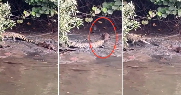 Playful Otters Kacau Resting Croc In Sungei Buloh By 'Smooching' Its Tail & Snout
