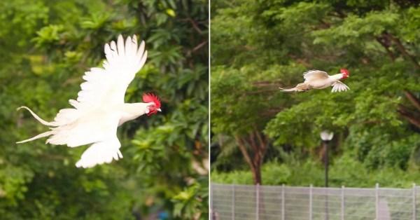 Chicken Flies Over Pasir Ris River, Rare Sight Surprises Netizens