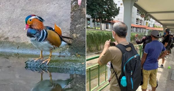 Majestic Mandarin Duck Makes Rare Appearance In Hougang, Curious Folks Gather To See It